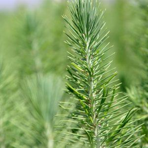Pinus pinea (Pino piñonero)