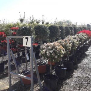 Plantas talladas
