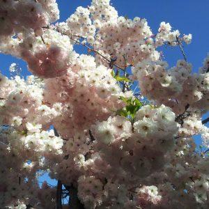 Prunus shimidsu miyako